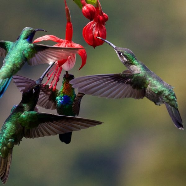 photo of two hummingbirds around a flower. article is talking about Hummingbird algorithm SEO for copywriters